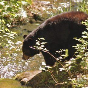 Alaska Bear Hunting: Crossbow Hunting Alaskan Bruins